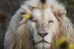 white-lion-and-yellow-flowers-howard-hershon